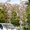 Prunus 'Hillier's Weeping'    12L  5-6ft